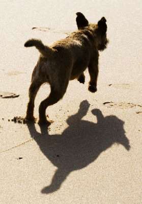 Kelso (border terrier) and shadow